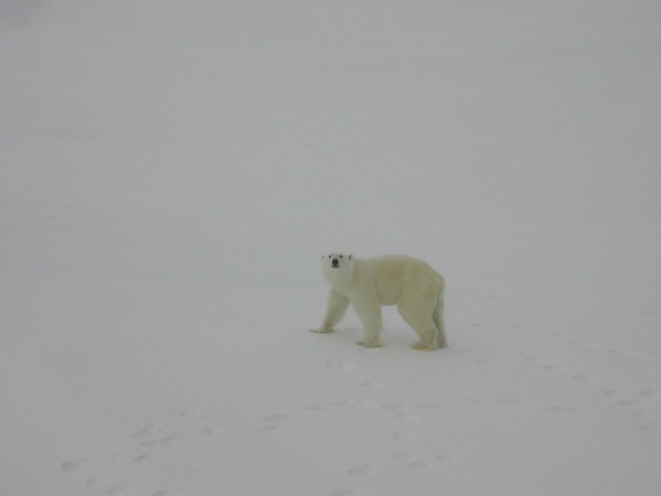 Polar bear (Ursus maritimus) walking on Arctic sea ice.