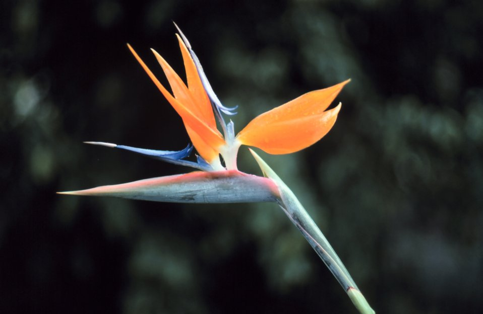 'Bird of Paradise' flower.