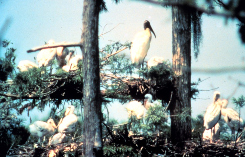 ACE Basin National Estuarine Research Reserve.  A wood stork nesting area.