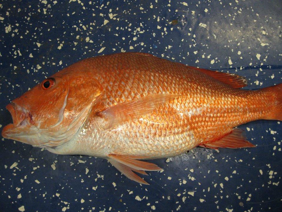 Red snapper (Lutjanus campechanus)
