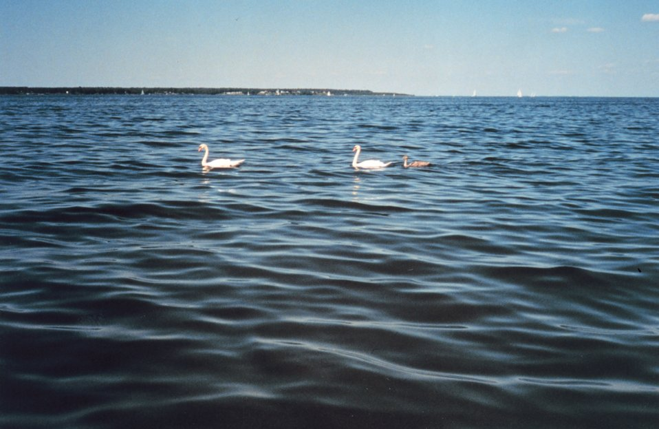 Pair of mute swans with cygnet following. Mute swans are an agressive invasive species along the East Coast. There are now over 3,000 mute swans in the Maryland portion of the Chesapeake Bay.