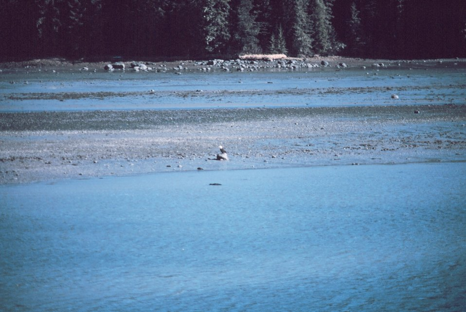 An eagle on the beach at Wrangell Narrows