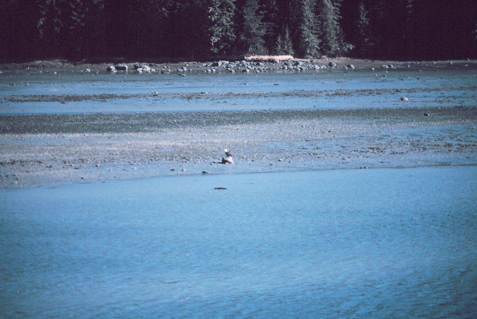 An eagle on the beach at Wrangell Narrows