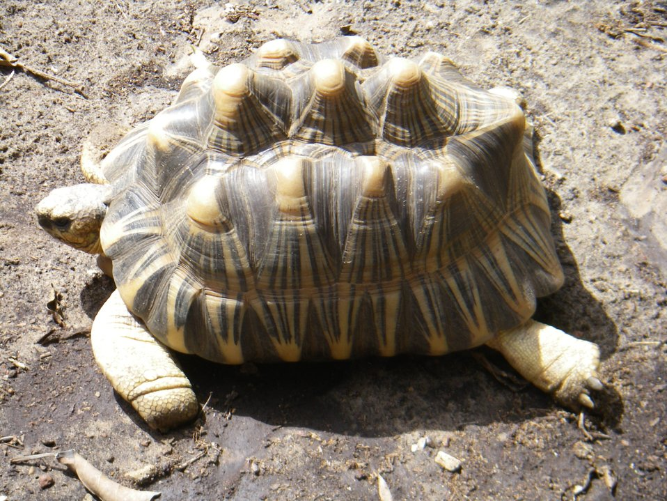 A sulcata tortoise (Geochelone sulcata) , a land-dwelling reptile native to Northern Africa.