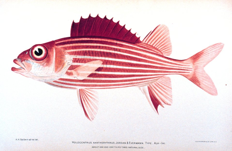 Holocentrus xantherythrus Jordan & Evermann.  Type.  Ala-ihi. In: 'The Shore Fishes of the Hawaiian Islands, with a General Account of the Fish Fauna', by David Starr Jordan and Barton Warren Evermann. Bulletin of the United States Fish Commission, Vol
