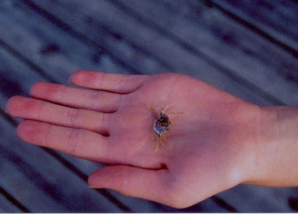 A baby blue crab.