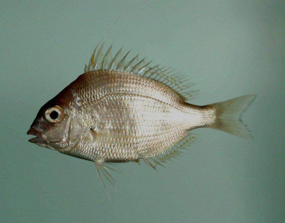 Longspine porgy ( Stenotomus caprinus )