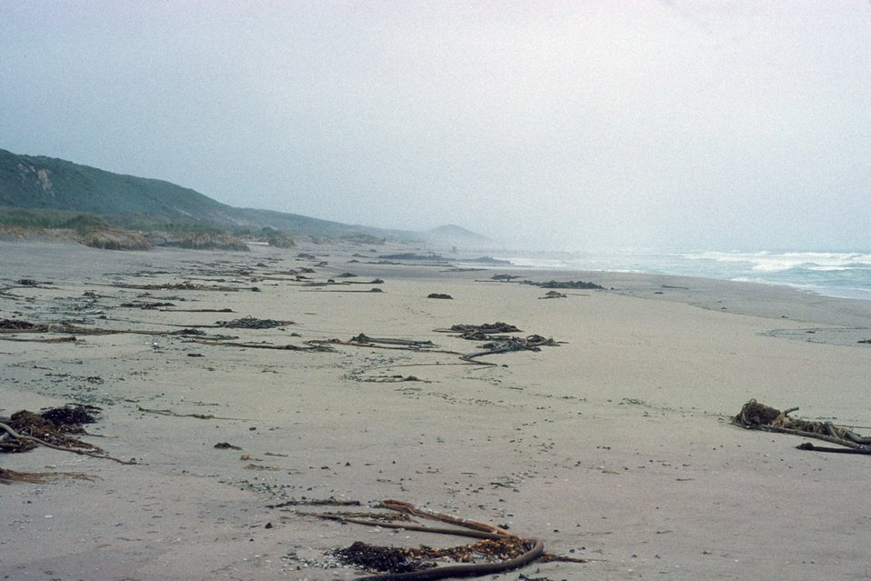 Point Reyes Great Beach.  Looking south, possibly after a significant storm ripped up much kelp and it pushed ashore.