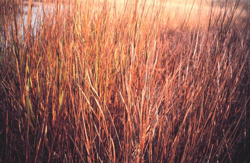 Close-up of oiled Spartina - a cordgrass common in coastal marshes