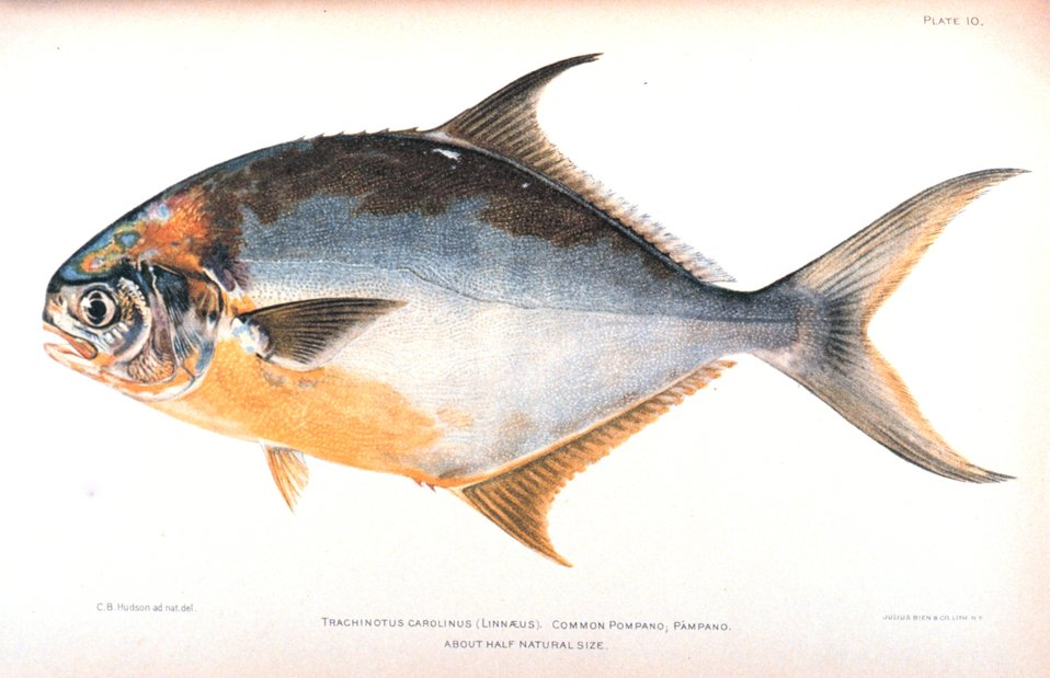 Trachinotus carolinus (Linnaeus).  Common pompano; Pampano. In:  'The Fishes of Porto Rico', by Barton Warren Evermann and Millard Caleb Marsh.  Bulletin of the United States Fish Commission, Vol. XX for 1900. First Part.  P. 350, Plate 10.