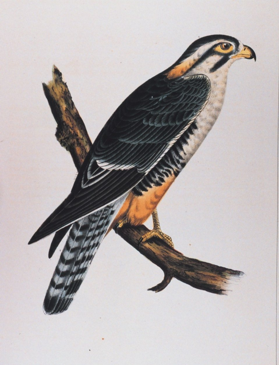 Buteo elegans, Cassin (adult). This image was included in:  Reports of Explorations and  Surveys ....  Volume X. 1859.  Plate I.  P. 20 of U. S. Pacific Railroad Explorations and Surveys 32nd Parallel. Library Call Number F593 .U58 1855.
