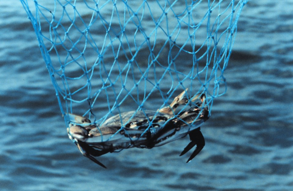 A Maryland Blue Crab, Callinectes sapidus, caught in a hand net.