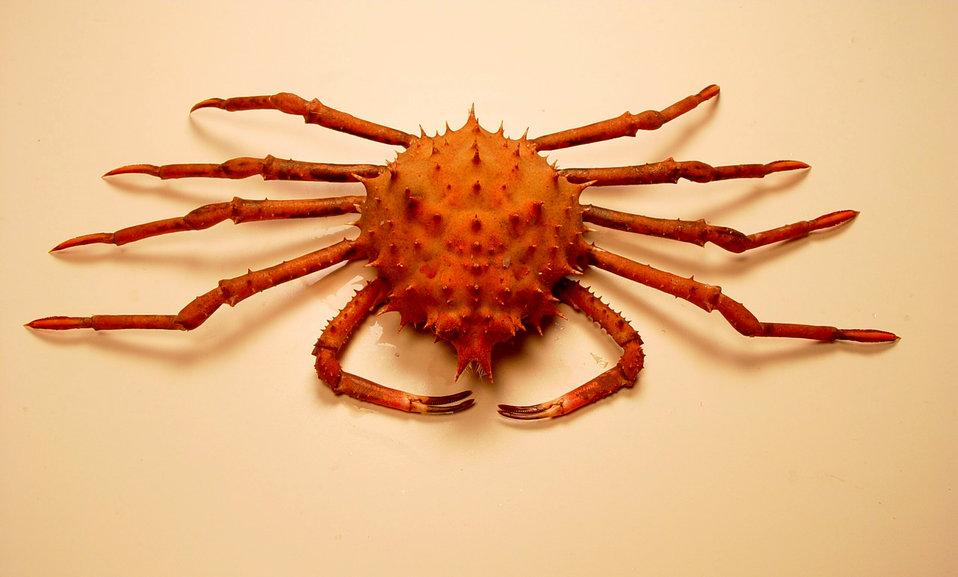 Inflated spiny crab ( Rochinia crassa )
