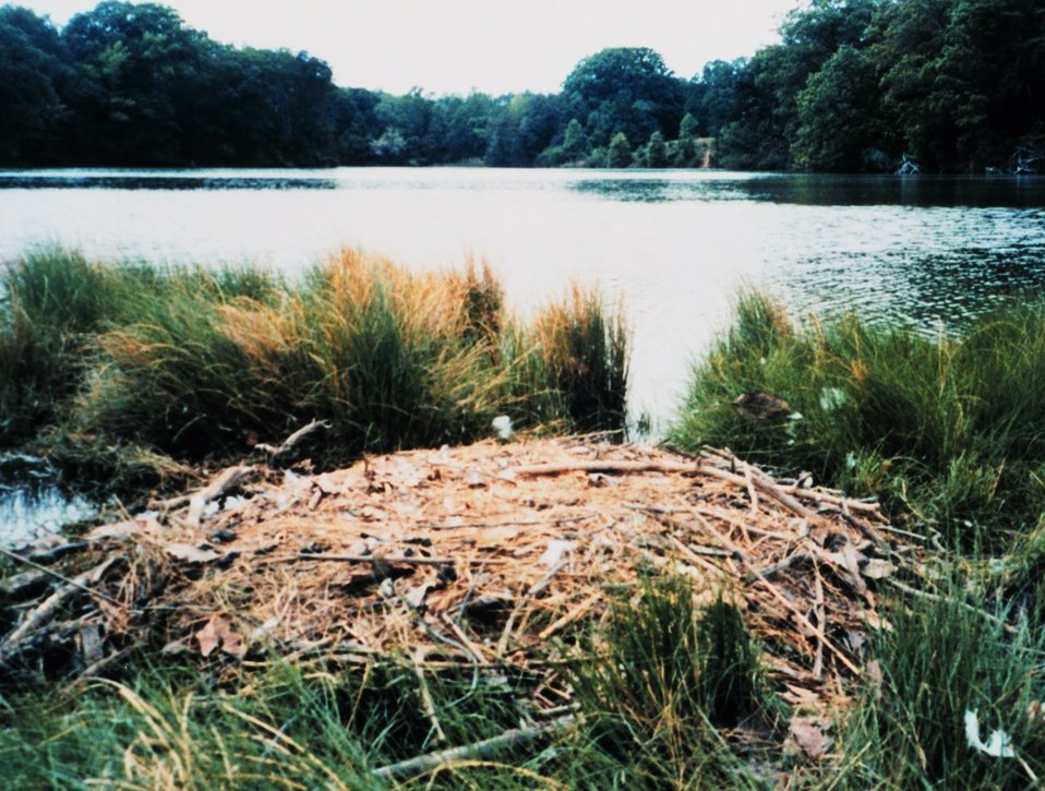 Mute swan nest.  Mute swans are an agressive invasive species along the East Coast.  There are now over 3,000 mute swans in the Maryland portion of the Chesapeake Bay.