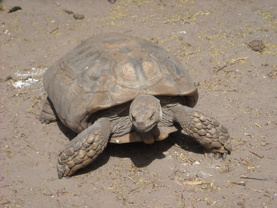 A sulcata tortoise (Geochelone sulcata) , a land-dwelling reptile native to Northern Africa. Ridges less pronounced than in images anim2015 and anim2016.