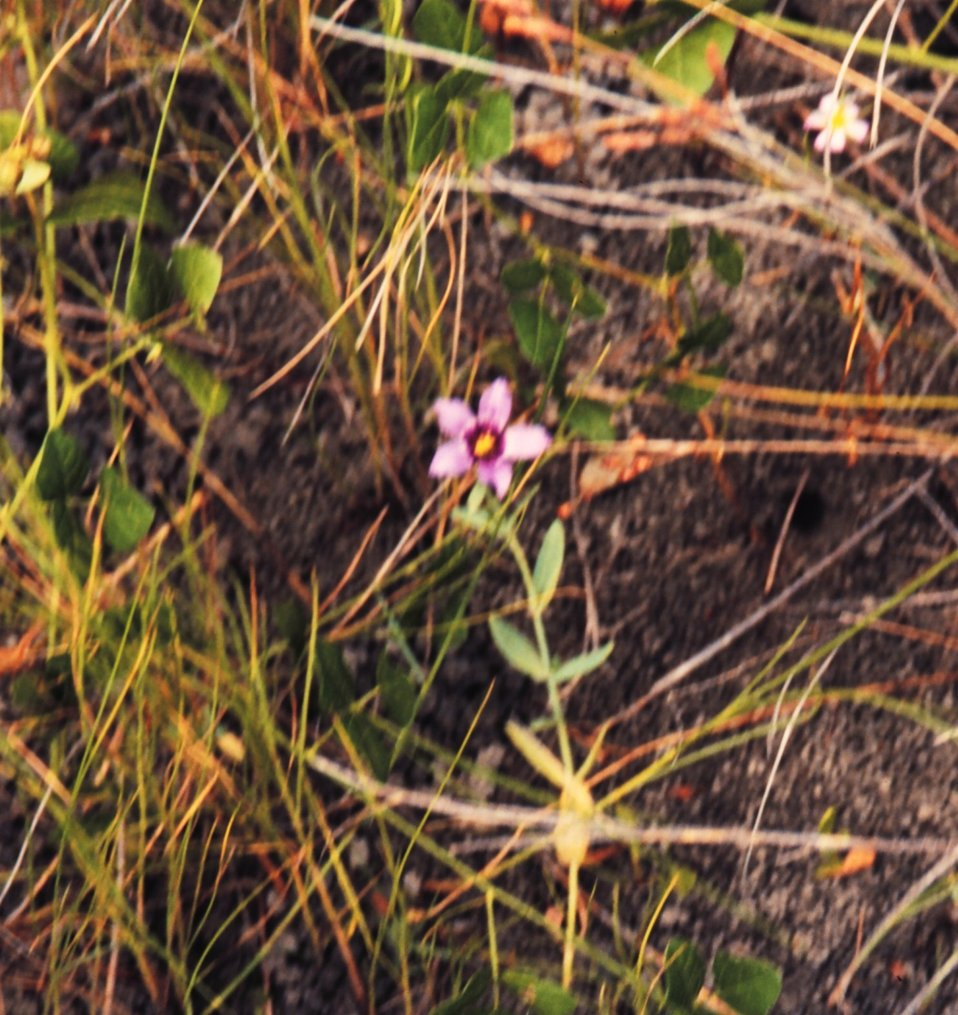 Delicate flowers are common within Louisiana coastal marshes.
