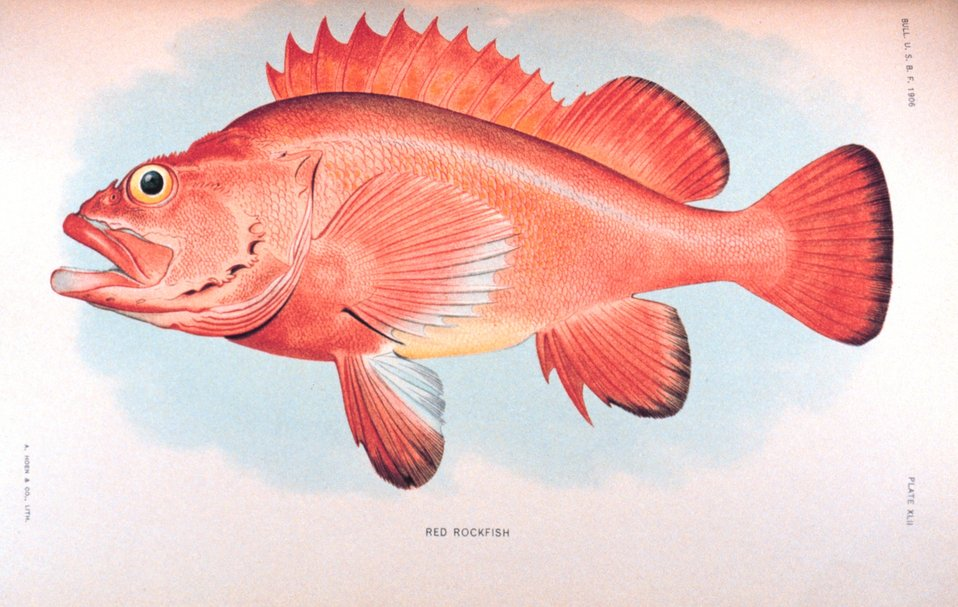 Red rockfish.    In:  'The Fishes of Alaska.' Bulletin of the Bureau of Fisheries, Vol. XXVI, 1906.  P. 360, Plate XLII.