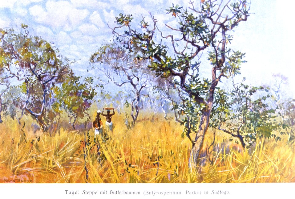African butter tree, Butyrospermum Parkii, in the steppe of south Togo,  Africa. In: 'Das Deutsche Kolonialreich,' by Hans Meyer, 1909.  Vol II, p. 102. Library Call Number: Cfd M612 d