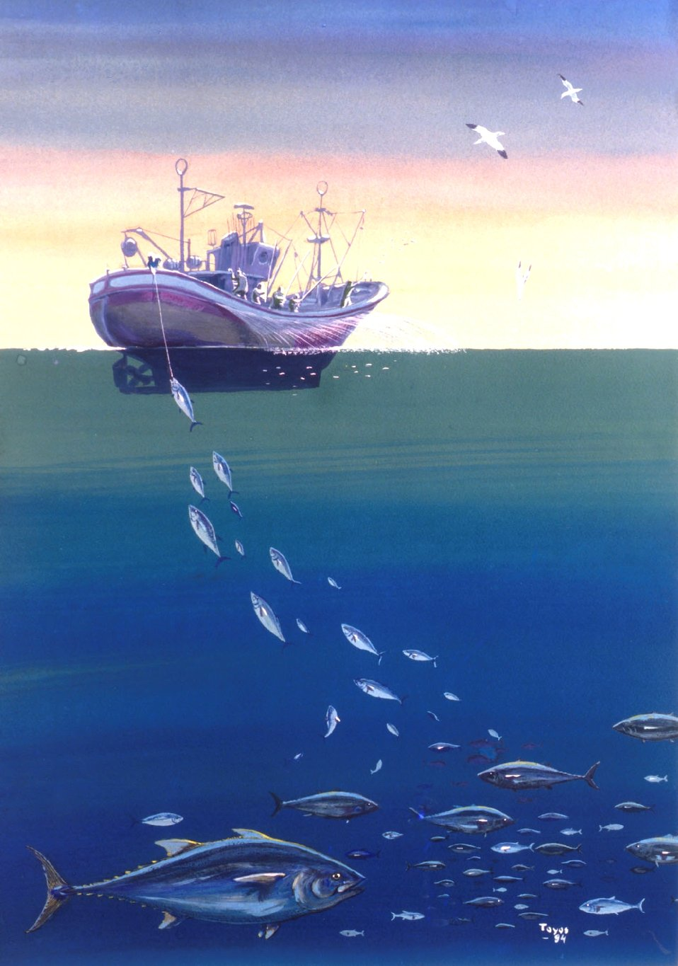 Artist's conception of pole and line fishing.  When one fish is hooked, the rest  of the school tends to follow the hooked fish to the side of the fishing vessel .