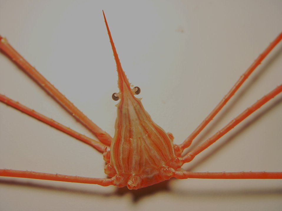 Yellowline arrow crab ( Stenorhynchus seticornis )
