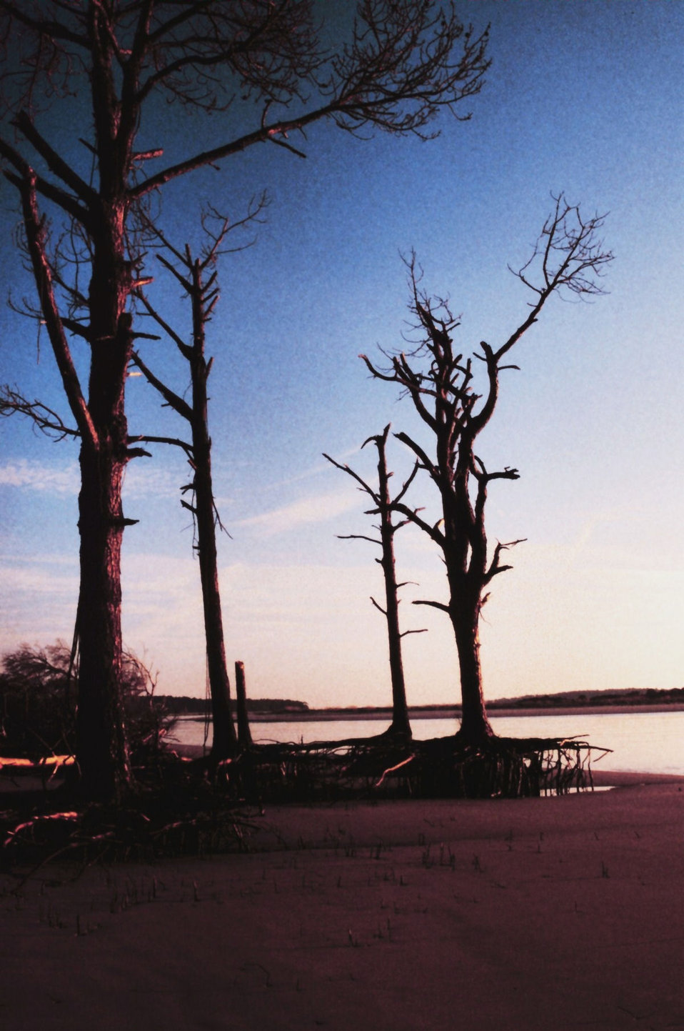 Tree roots exposed because of erosion on the north end of Sapelo's beach. Typical of barrier islands, sand from the north end of Sapelo and Blackbeard is eroded away by ocean currents and deposited at the south end where sand dunes continue to build.  T