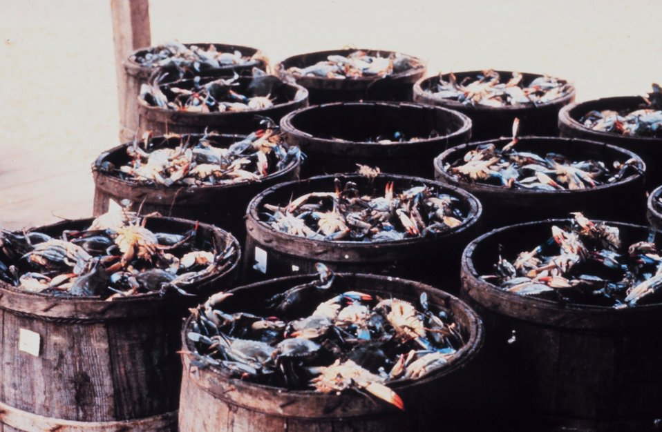 The bounty of the Chesapeake -barrels of blue crab - Callinectes sapidus.