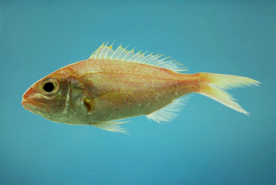 Wenchman ( Pristipomoides aquilonaris )