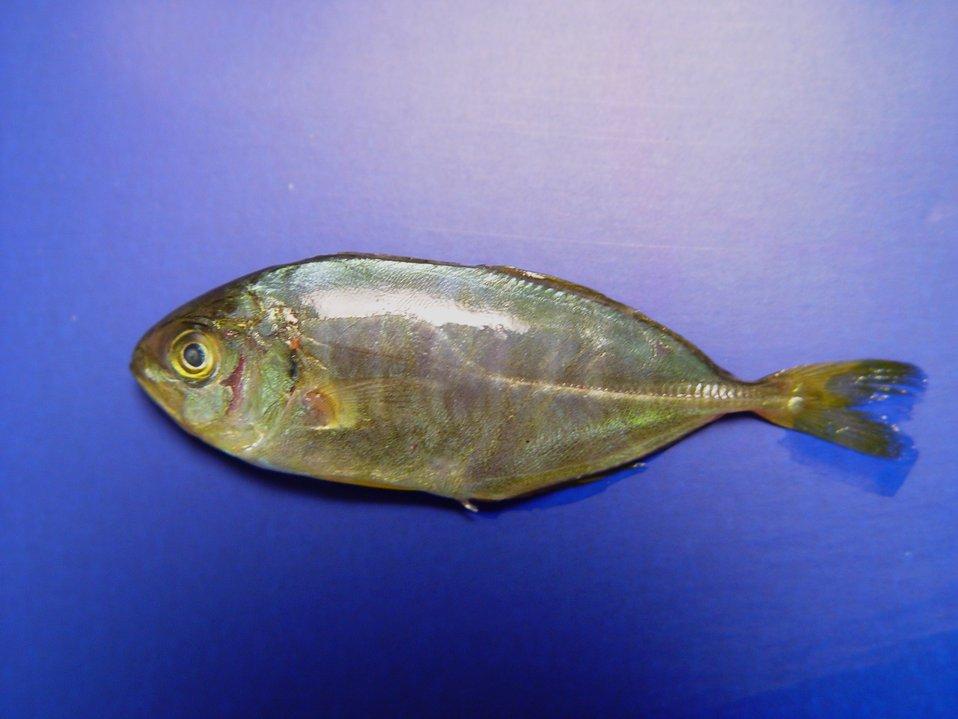 Older banded rudderfish ( Seriola zonata )