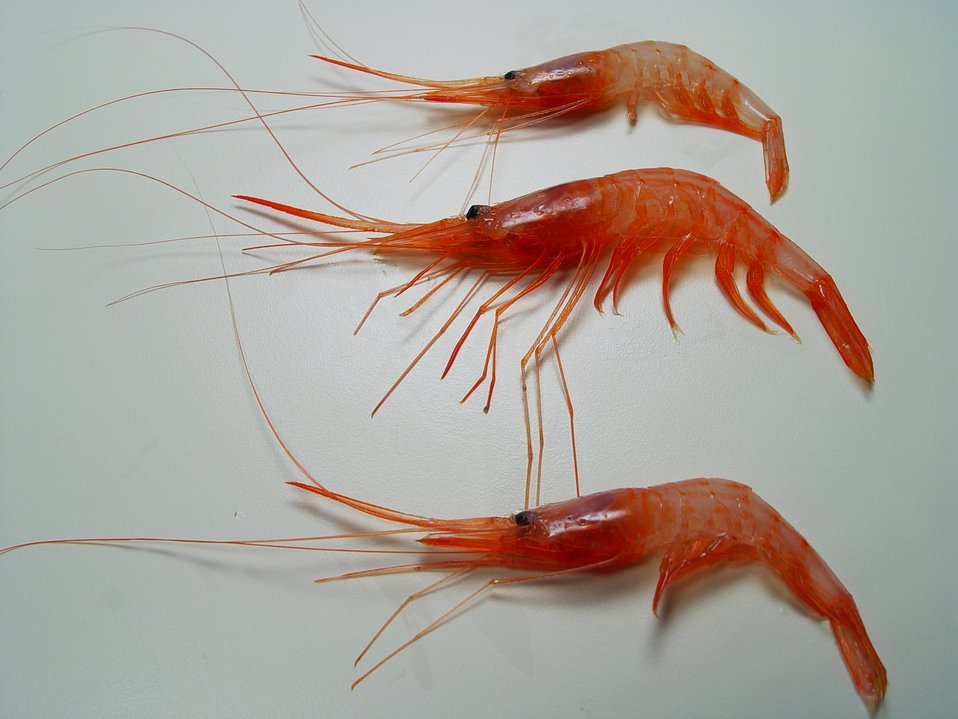 Soldier striped shrimp ( Plesionika edwarsii )
