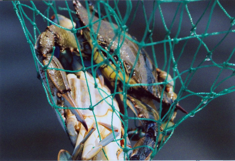 Blue crab doubler in net.  The male is above while the female below is most likely a soft-shell crab.