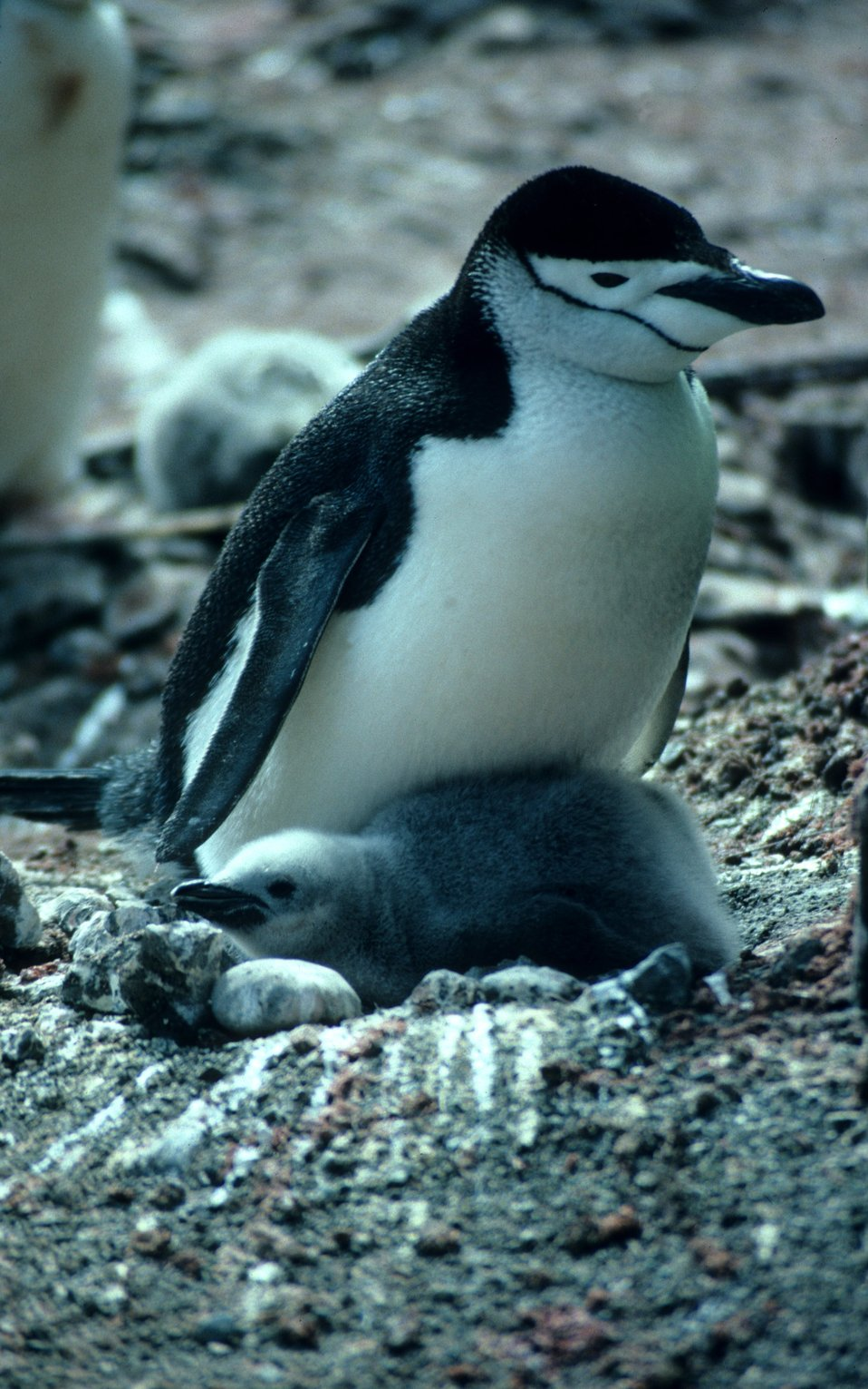 Chinstrap penguin with chick.