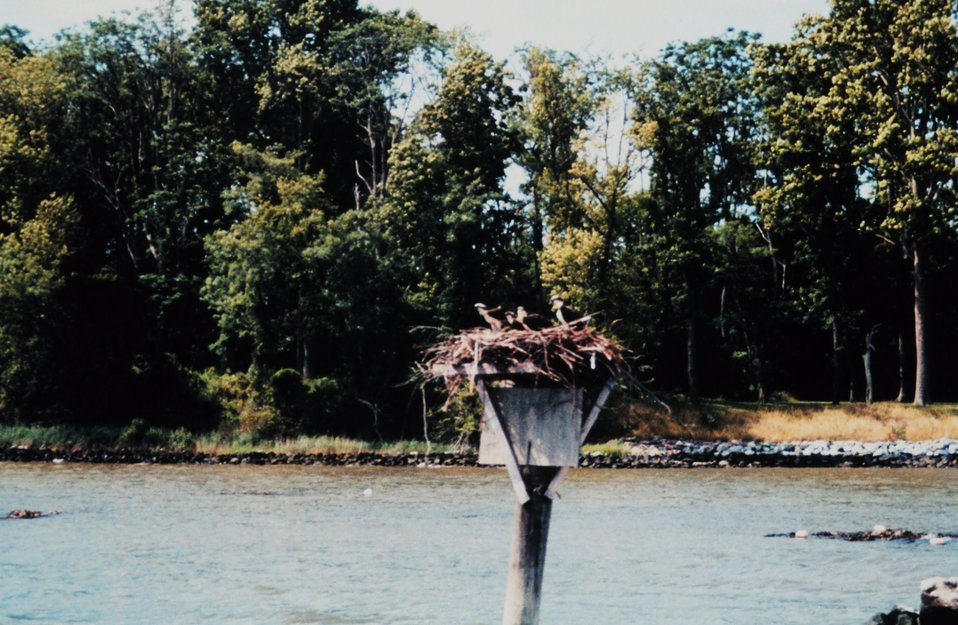 Four osprey - Pandion haliaetus - on nest off of the University of Maryland Horn Point Environmental Laboratory on the Choptank River.