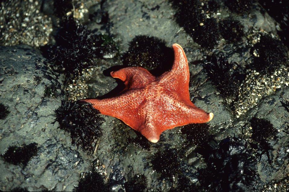 A reddish-orange bat seastar (Patiria miniata)
