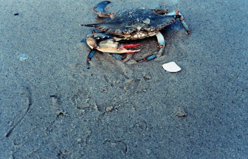 Female blue crab (Callinectes sapidus) on the beach.  Females can be distinguished by the right red tips on their claws.
