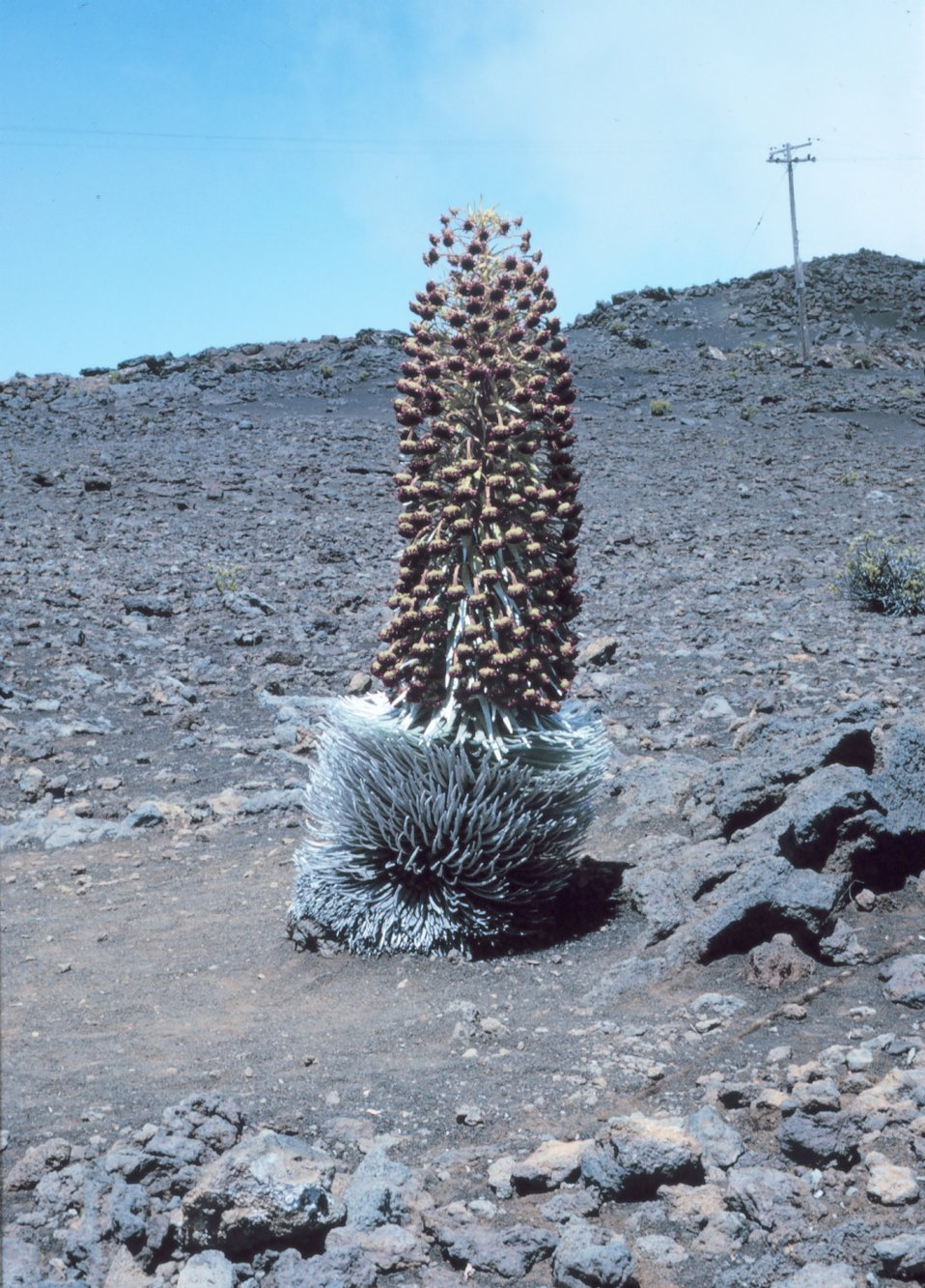 Silver sword growing on Mt. Haleakala