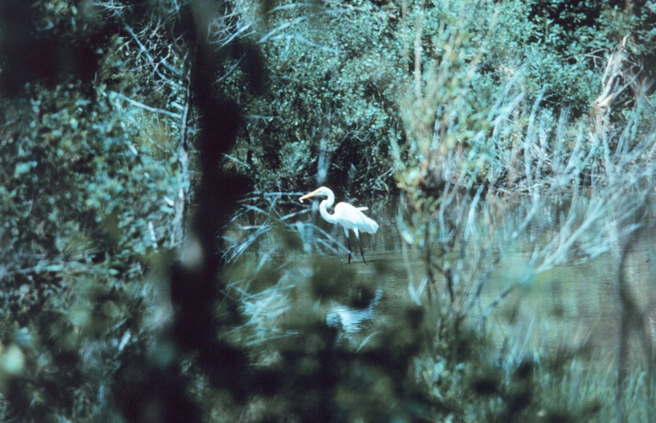 An egret fishing in a tidal pond