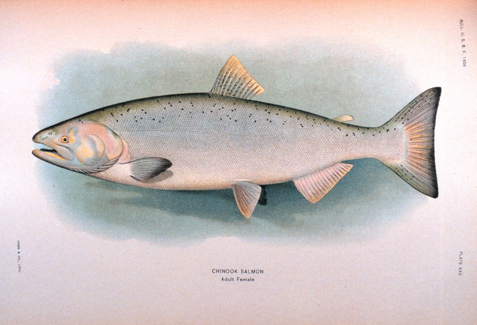 Chinook salmon, adult female.  In:  'The Fishes of Alaska.' Bulletin of the Bureau of Fisheries, Vol. XXVI, 1906.  P. 360, Plate XXX.