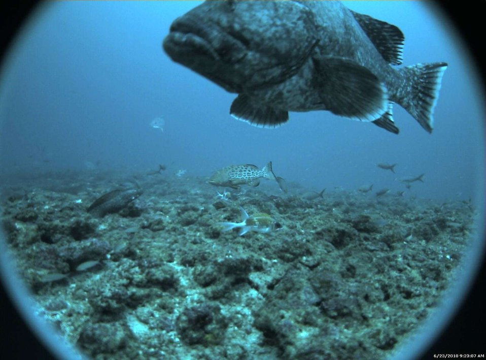 Marbled grouper (Dermatolepis inermis) in foreground; scamp grouper  (Mycteroperca phenax) in center distance; and assemblage of other fish.
