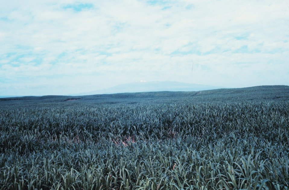 Mauna Loa seen over a cane field