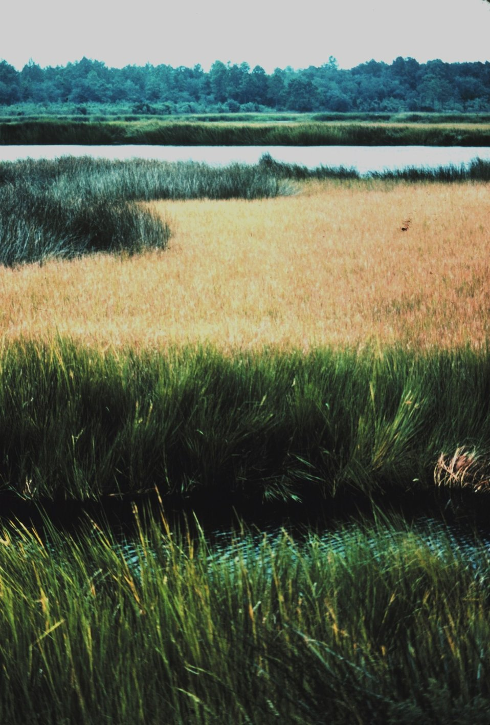 Black needle rush and Saltmarsh cordgrass (Spartina).  Maritime forest is seen in the background.