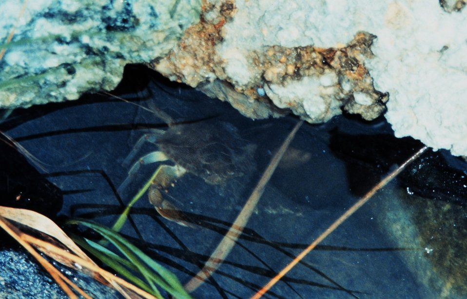 A Maryland Blue Crab, Callinectes sapidus, seeking shelter under a rocky ledge.
