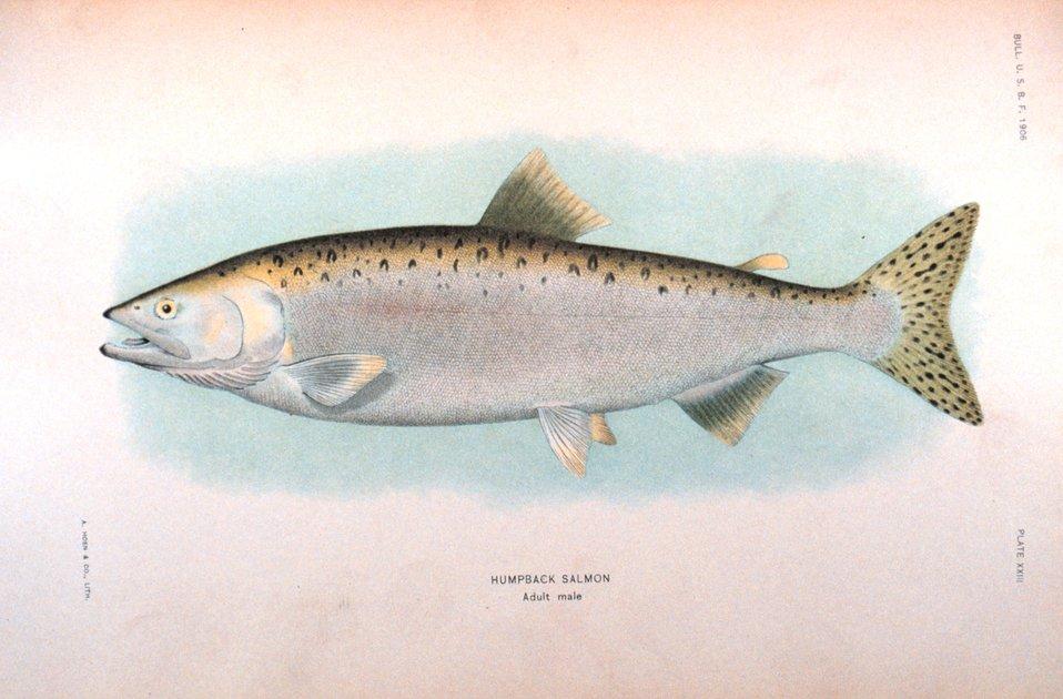 Humpback salmon, adult male.  In:  'The Fishes of Alaska.' Bulletin of the Bureau of Fisheries, Vol. XXVI, 1906.  P. 360, Plate XXIII.