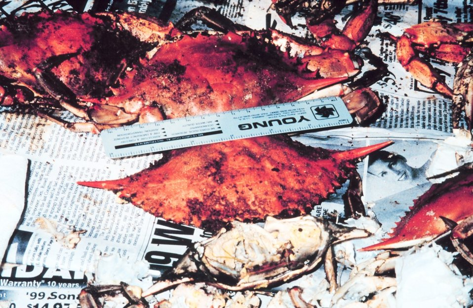 Although few blue crabs in 1999, some grew to large size.  A six-inch ruler was not long enough to measure these crabs caught in the Patuxent River.