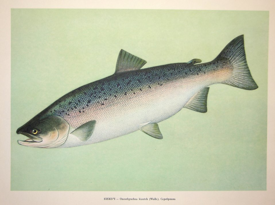 Plate 44. Oncorhynchus kisutch (Walb.). Family Salmonidae. In: Fishery Resources of the USSR,  N.N.Kondakov, Artist Editor. 1957.  NOAA Central Library Call Number: SH91.R9 1957.