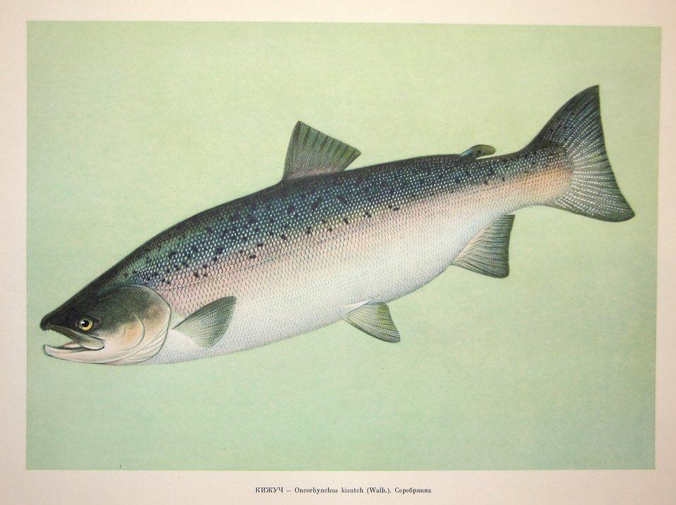 Plate 44. Oncorhynchus kisutch (Walb.). Family Salmonidae. In: Fishery Resources of the USSR,  N.N.Kondakov, Artist Editor. 1957.  NOAA Central Library Call Number: SH91.R9 1957.