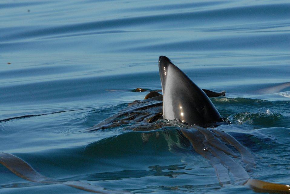 Dusky dolphin (Lagenorhynchus obscurus)