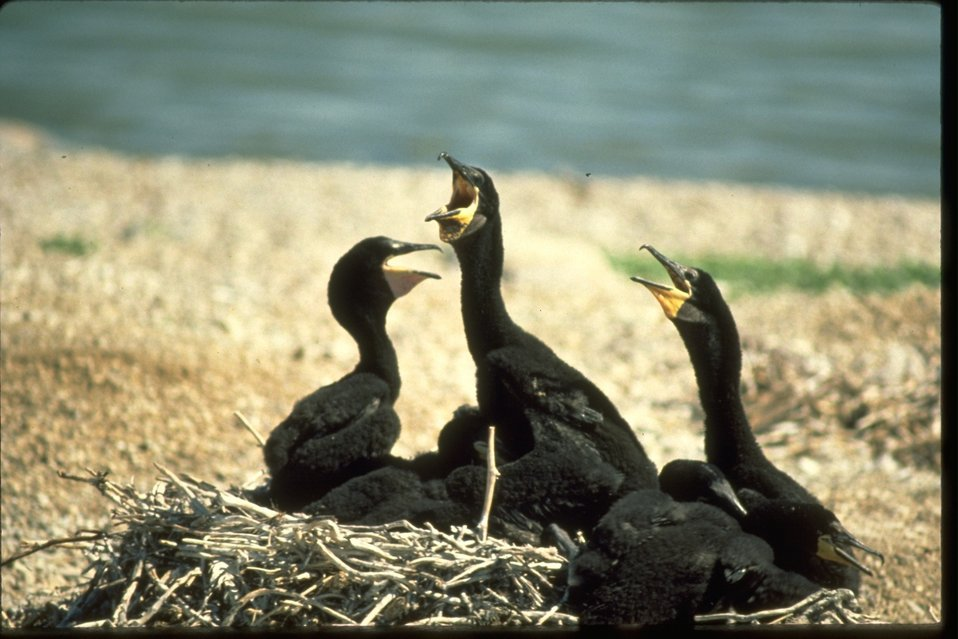 Double-crested Cormorants sitting in nest.