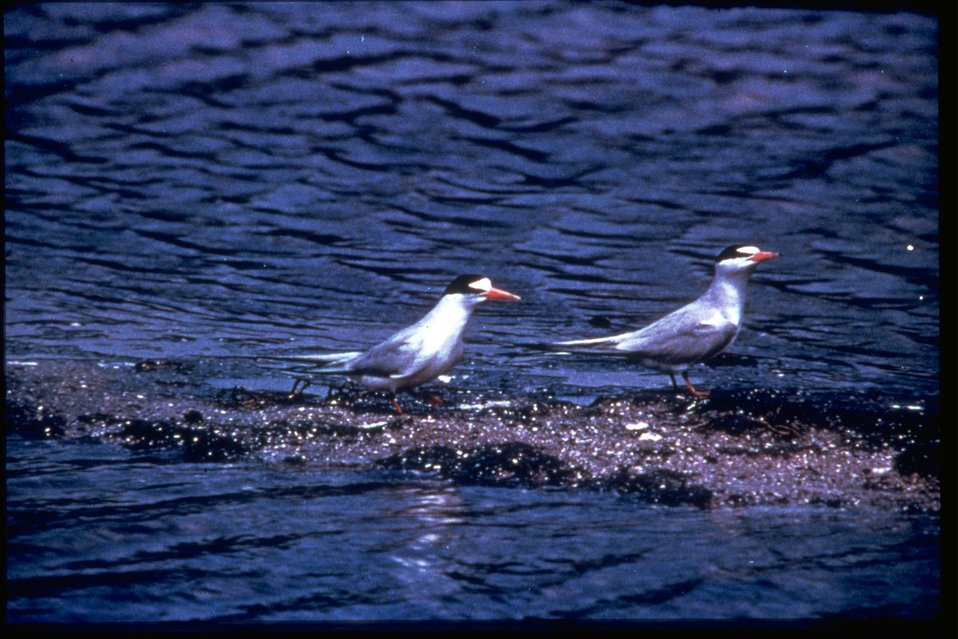 Terns running through some body of water.