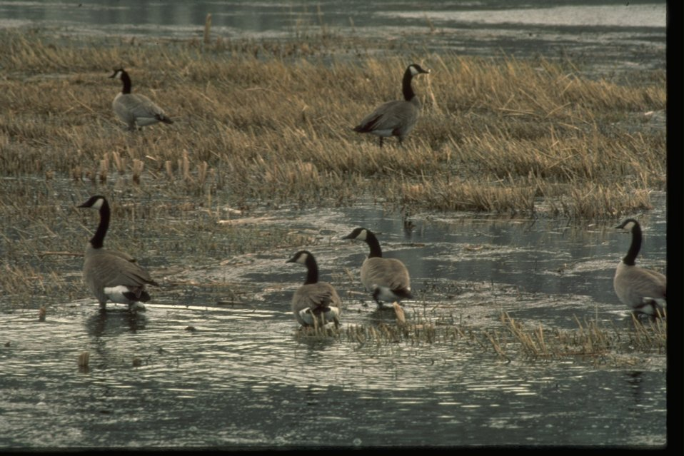 Canadian Geese in marshy ground.