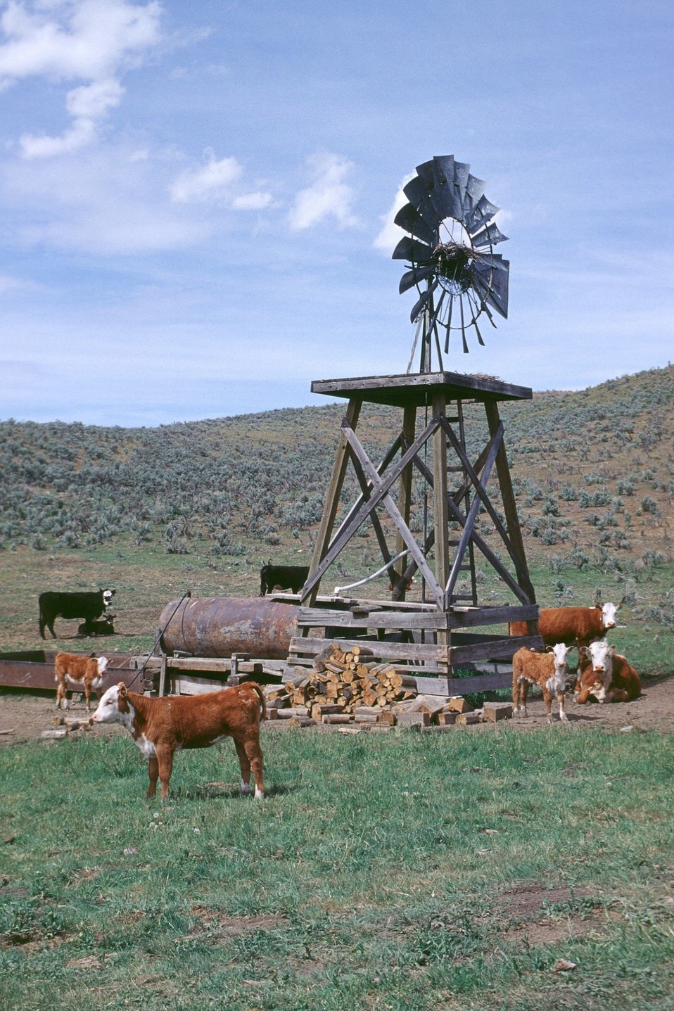 Old wind mill and cattle. Immigrant Flats, Baker City RA.